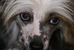 Mystical Chinese Crested - Chinese Crested Hairless Puppies For Sale, Blue Eye Chinese Crested Puppies, Chinese Crested Powder Puff