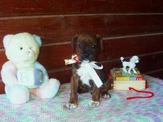 Ruby is an adopted Boxer Dog in Clarksville, TN.  RUBY is a sweet female Boxer mix puppy about 6 weeks old. She and her siblings (only one brother in the litter) are all looking for their forever home...