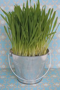 Love wheat grass