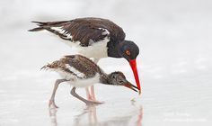 Oystercatcher & Chic by Alfred Forns, via 500px