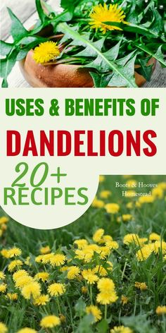DANDELION USES & BENEFITS. Check out this simple guide to the benefits & amazing dandelion uses. Plus, over 20 recipes! Cold Home Remedies, Natural Health Remedies, Herbal Remedies, Dandelion Uses, Dandelion Recipes, Dandelion Benefits, Dandelion Plant, Healing Herbs, Medicinal Plants