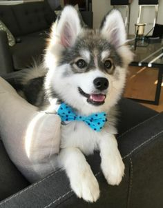 14 Images Of Norman, The Pomeranian Husky Mix, Who Is Simply Too Cute - World's largest collection of cat memes and other animals Pomeranian Breed, Cute Pomeranian, Cute Husky, Husky Puppy, Pomsky, Husky Mignon, Cute Puppies, Cute Dogs, Husky Breeds