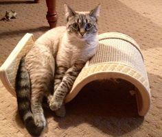 Mimi Lynx Point Siamese Cat