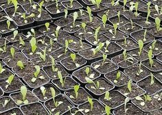 Calendrier des semis et des récoltes au potager Perennial Vegetables, Growing Vegetables, Potager Garden, Garden Planters, Permaculture, Sprouting Seeds, Aquaponics System, Foliage Plants, Seed Pods