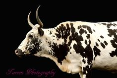 nguni photography - Google Search Cow Names, Breeds Of Cows, Bee Painting, Longhorn Cattle, Animal Paintings, Livestock, Farm Animals, Mammals, Farm Boys