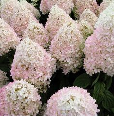 Hydrangea pan Sweet Summer - long blooming, all summer long. From green to white to pink!