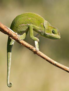 Flap-necked chameleon | Flickr - Photo Sharing!