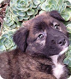 12/11/16 Oakland, CA - Bernese Mountain Dog/German Shepherd Dog Mix. Meet Corn Bread, a puppy for adoption. http://www.adoptapet.com/pet/17188903-oakland-california-bernese-mountain-dog-mix
