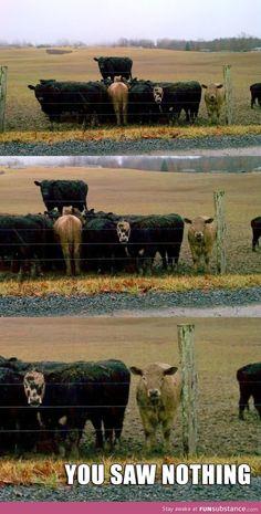 Secret cow meeting