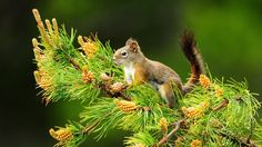 Squirrel on Fir Tree 1920x1080 download