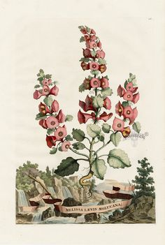 Abraham Munting Hand-Colored Botanical Prints 1696