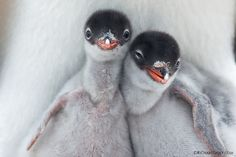 These are Mr. Popper's Penguins - the gentoo penguins - Cute movie, not one of Jim Carey's best, but well worth watching!  (photo by richard sidey)