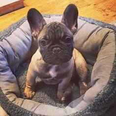 Darcey, the French Bulldog Puppy, @darceythefrenchie