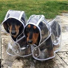 The Diverse Dachshund Breed - Champion Dogs Dachshund Funny, Dachshund Breed, Dachshund Love, Daschund, Weenie Dogs, Pet Dogs, Dog Cat, Doggies, Cute Baby Animals