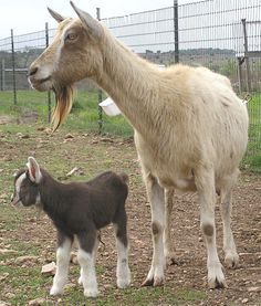 Toggenburg Dairy Goat is a Swiss breed credited as being the oldest known dairy goat breed. These Toggenburg Dairy Goats are medium in size with upright ears. Henry Domestic Animals & livestock Farming are suppliers of Toggenburg Dairy Goat. To know more visit - http://www.hdalfarminggroup.com/toggenburg-dairy-goat.htm