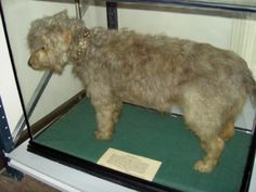 Bloss and Bess, the tale of the airedale terrier Visitors to Cliffe Castle are often curious about Bloss, the Airedale terrier on display in our Keighley Stories Gallery. Airedale Terriers are synonymous with Yorkshire. The most famous taxidermy example, named Bloss (CC 9238), which dates from 1900.