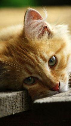 gato marron - Pesquisa Google