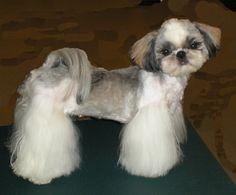 105 Best Shih tzu hair cuts images Shih tzus Yorkie