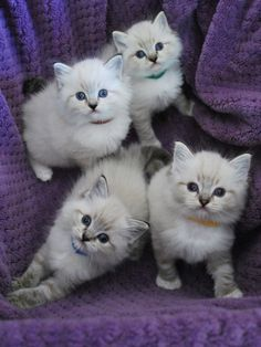Great contrast with the purple cloth and white kittens. You can see the texture of the fur and cloth. The kittens are asymmetrical which draws interest