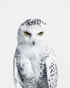 SNOWY OWL No. 2 : Snowy owls may face threats from climate change, as changing t. - SNOWY OWL No. 2 : Snowy owls may face threats from climate change, as changing temperatures affect - Beautiful Owl, Animals Beautiful, Beautiful Pictures, Owl Bird, Pet Birds, Animals And Pets, Cute Animals, Petit Tattoo, Owl Tattoo Design