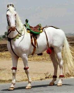 Traditionally decorated horse in Lahore, Pakistan. From the ears I would say a Mawori Horse Girl, Horse Love, Most Beautiful Horses, Animals Beautiful, Zebras, Akhal Teke Horses, Breyer Horses, Arabian Horses, Horse Tack