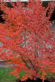 An excellent medium-sized tree for all-seasons appeal. Often multi-trunked or low-branching. White flowers, similar to Camellia, appear in summer. Its deep green leaves turn blazing red, yellow and purple in the fall. Beautiful exfoliating bark in shades of orange and gray becomes more pronounced as the tree matures.