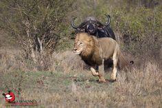 Angry Buffalo - lookout, Lion! #Kruger Kruger National Park, National Parks, Predator, Buffalo, Safari, Lion, Animals, Leo, Animales
