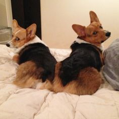 Three Corgis, action photos, Corgi love