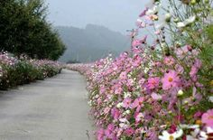 길따라...하염없이 걷고싶어라=^^ Cosmos Flowers, Daisy Flowers, Perennials, Beautiful Flowers, Sidewalk, Birds, Spring, Places, Kyoto