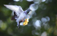 Le garde-frontière Sabir Mahayreh a confirmé la saisie d'un pigeon voyageur envoyé par Daech en Syrie.