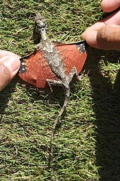 A Real Life Dragon ~ Gliding Lizard    Researchers in Indonesia have discovered what looks like a teeny tiny dragon. As yet, we have no information on whether they guard small piles of gold or attack miniature castles     This was a nesting female found in the Lambsuango Forest reserve in 2009 and was immediately released after this photograph was taken.