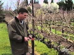 Video and photos on how a grapevine is pruned. John 15:1 Constantly pruning...