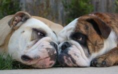 English Bulldogs ~ Classic Look