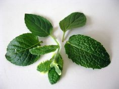 After planting a few varieties, I couldn't remember which was which. Here's a short article with photos of different types of mint.