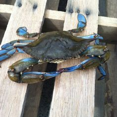Blue crab!