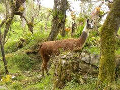 Llamas are not just roaming the mountains of South America, you can find them in the North America too. They make great companions for the road. They are packs animals, ideal for trekking lost distance.