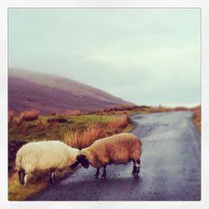 Traffic jam on the Isle of Skye