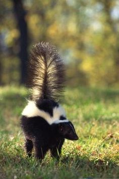 If your dog is unlucky enough to be sprayed by a skunk, you& probably desperate to get the stink off him. But why skunks are stinky is important knowledge when trying to get the stink off. Skunk Repellent, Insect Repellent, Getting Rid Of Skunks, Baby Animals, Cute Animals, Animal Babies, Unusual Animals, Wild Animals, Skunk Spray