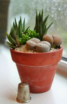 Miniature garden with Lithops, Haworthia and Sedum, shown with a thimble for scale.