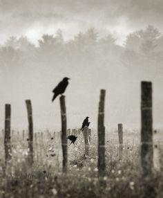 Photography / crow / nature / fog / bird / by NicholasBellPhoto, $60.00