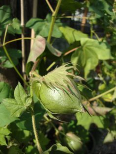 Gossypium hirsutum http://lefotodiluisella.blogspot.it/