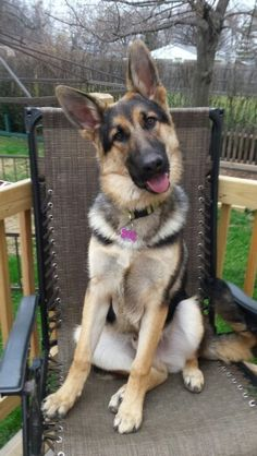 GSD-Rex~ The  king on his throne!