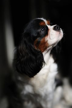 Beautiful!  cavalier king charles.