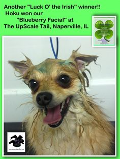 15 best st patricks day pet grooming at the upscale tail blueberry facials to whiten sanitize brighten at the upscale tail pet grooming salon solutioingenieria Image collections