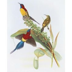 Nectarinia Gouldiae by Aaron Ashley Animals Art Print