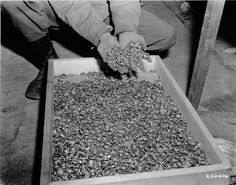 "A soldier dips his hands into a crate full of rings confiscated from prisoners in Buchenwald and found by American troops in a cave adjoining the concentration camp.  Original caption reads: ""These are a few of the thousands of wedding rings the Germans removed from their victims in order to salvage the gold.  U.S. First Army troops found these rings, with watches, precious stones, eyeglasses, and gold teeth fillings, in a cave adjoining the Buchenwald concentration camp near Weimar…"