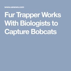 Fur Trapper Works With Biologists to Capture Bobcats