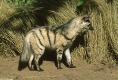 Striped hyenas are a bit smaller than spotted and brown hyenas. Native to northern Africa, the Middle East, and India, these carnivores live in habitat too difficult to live in for other large predators: semideserts, rocky scrublands, and savannas. Once thought to be solitary, recent studies have shown that in some areas striped hyenas live in small groups of one female and several males.