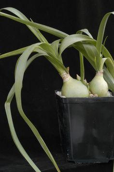 Ornithogalum longibracteatum Jacquin Snědek ocasatý