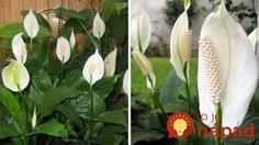 Túto rastlinu by vraj mala mať v dome každá žena: Nerobte túto častú chybu a vydrží vám krásna celé roky! Flora, Gardening, Plants, Christmas, Gardens, Garden Deco, Lawn And Garden, Xmas, Navidad